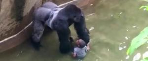 Kafesine Bir Çocuğun Düşmesinden Dolayı Öldürülen Goril İçin İmza Kampanyası Başlatıldı