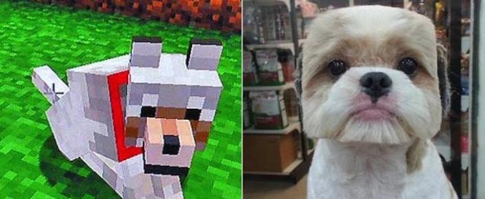 Japonya'da Köpekler, Minecraft Köpekleri Gibi Tıraş Ediliyorlar