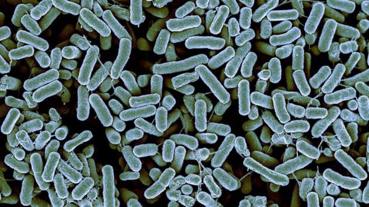 _85814776_c0260742-e__coli_bacteria%2C_sem-spl.jpg