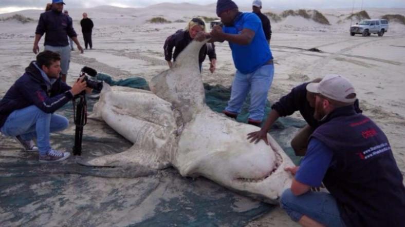 Beyaz Köpekbalıkları Kendilerini Katil Balinalara Yem Olurken Buldular