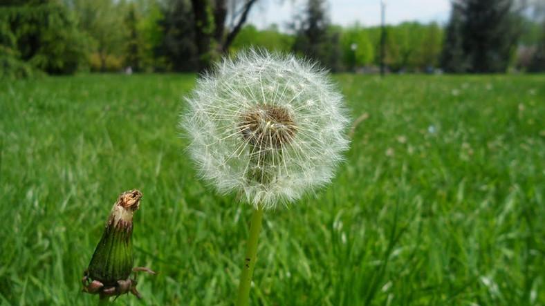 Karahindiba Bitkisinin Yaşam Döngüsünü Gösteren Bu Gif'i Görenler Hayatlarının Aydınlanmasını