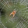 Bilim İnsanları, Örümceklerin Yüzlerce Kilometreyi Nasıl Katettiğini Ortaya Çıkardı