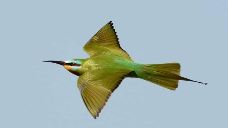 Hatay'da Nadir Bir Tür Olan Yeşil Arı Kuşu, 31 Yıl Aradan Sonra İlk Kez Görüldü