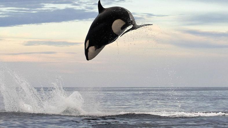 Balinalar Nasıl Dünyadaki En Büyük Canlıya Dönüştü