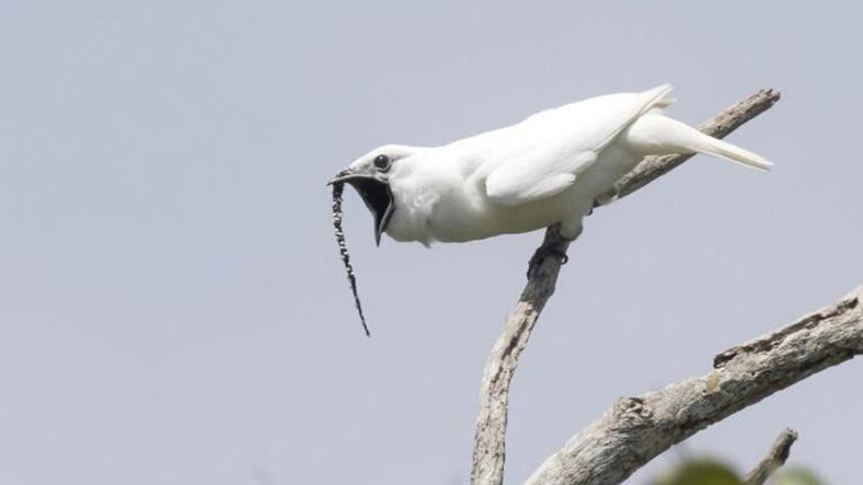 Dünyanın En Yüksek Sesli Kuş Rekoru El Değiştirdi: Karşınızda Beyaz Çan Kuşu (Video)