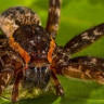Su Altında Nefes Alan ve Kurbağa Yiyen Bir Örümcek Türü Keşfedildi!