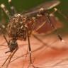 Sivrisineklerin Nasıl Kan Emdiğini Biliyor musunuz?!