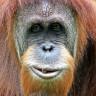 İnsan Sesini Taklit Eden İlk Orangutanın İlginç Videosunu İzleyin!