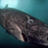 400 Yıl ile Dünyanın En Uzun Süre Yaşayan Canlısı: Grönland Köpekbalığı