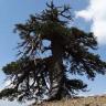Avrupa'nın Yaşayan En Eski Ağacı Yunanistan'da Bulundu: İhtiyar Ağaç Kaç Yaşında?