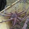 Avustralya'da Görülen ve Bacak Boyu 20 Santimetre Olan Devasa Örümcek
