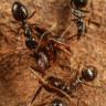 Yeryüzündeki Tüm Canlılara Zarar Verme Potansiyeline Sahip 'Psikopat' Bir Karınca Türü Bulundu!