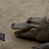 Bir Timsah iPhone 7'yi Isırırsa Ne Olur?