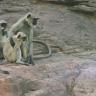 Robot Arkadaşları Ölünce Hüzne Boğulup Yas Tutan Maymunlar