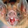 Vampir Yarasalar, Tarihte İlk Kez İnsan Kanı İle Beslenmeye Başladılar!