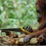 Hiçbir Yardım Almadan Testere Kullanmayı Öğrenen Orangutan