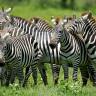 Bazı Hayvanlarda Neden Şerit ve Çizgiler Var?