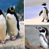 Dünya Penguen Günü'nde Bilim İnsanlarından Penguenleri Koruyun Çağrısı!