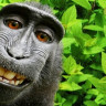 Maymun Selfie'si Anlaşmazlığı Sonuçlandı
