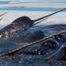 İlk Kez Bir Denizgergedanı Avlanırken Görüntülendi!