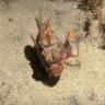 Bir Dalgıcın Kamerasına Takılan 'Yürüyen Balık' Bilim Dünyasını İkiye Ayırdı!