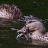 Bilim Dünyası Şokta: Tarihte İlk Kez Göçmen Kuşla Beslenen Bir Yaban Ördeği Görüntülendi!