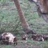 Viral Olarak Yayılan Otçul Zürafanın Kemik Sıyırdığı Videoya Bilimden Cevap