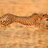 Bilim İnsanları, Hayvanların Hızını Büyüklüklerine Bakarak Doğru Tahmin Ediyor!