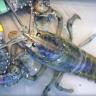 İki Milyonda Bir Rastlanan Mavi Istakoz, Bir Balıkçı Tarafından Bulundu!