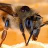 Antisosyal Arılar ile Otizmli Kişiler Arasında Genetik Benzerlikler Bulundu