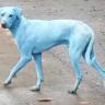 Doğanın Gösterdiği En Acı Sonuçlardan Biri: Mavi Renge Dönüşen Köpekler