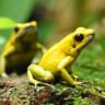 Dünya'nın En Zehirli Kurbağaları Kendi Zehirlerine Karşı Nasıl Dayanıyor?