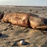 Harvey Kasırgası'ndan Sonra Sahile Vuran Yaratık, Sosyal Medyada Korku Yarattı!