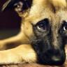 Köpekler, İnsanlarla İletişim Kurmak İçin Yüz İfadelerini Kullanıyorlar
