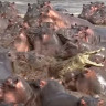 Belgesellerde Yok: Sinirden Kuduran 30 Su Aygırı, Sadece 1 Timsaha Saldırdı!