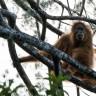 Bilim İnsanları Yeni Bir Orangutan Türü Keşfetti