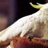 Avustralya'nın İnternet Kablolarını Çiğneyen Papağanlar!