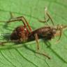 Karıncaları Zombiye Dönüştüren Parazit, Düşünüldüğünden Daha Korkunç Bir Şekilde Bunu Yapıyor