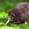 Yeni Zelanda'daki Bir Kuş Türü, Diğer Hayvanların Gen Yapısı Değiştirilerek Korunacak