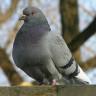 Güvercinlerin Yönlerini Bulmasının Sırrı Çözüldü