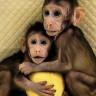 Dolly'den Sonra Bir İlk: Aynı Yöntemle Bu Kez İkiz Maymun Klonlandı!