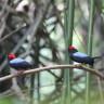Dişileri Etkilemek İçin İki Erkeğin Ortak Çalıştığı Kuş Familyası
