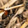 Bazı Karıncalar, Yaralanan Dostlarına İlk Yardım Müdahalesinde Bulunuyor!