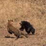İki Hayvan Arasındaki Amansız Dövüş: Kaplan ve Ayı!