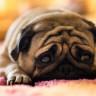 İnsanoğlu, Köpekleri Yanlış Anlıyor Olabilir mi?