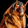 Hamam Böceklerinden Tamamen Kurtulmak İmkansız mı?