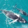 Korkunç: Nesli Tükenen Balinalar, Bu Yıl Bir Doğum Bile Yapmadı!