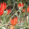 Koparanın 48 Bin TL Ceza Aldığı Çiçek: Manisa Lalesi