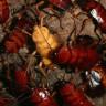 Çin, Devasa Çiftliklerini Hamam Böceği Üretmek İçin Kullanıyor!