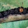 Avını Parça Parça Eden Ürkütücü Karınca Türü: Azteca Brevis